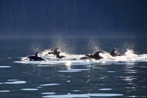 Pacific Dolphins. Credit: Kim Windle