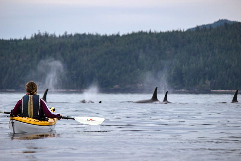 Kayaking with Orcas in Johnston Straight. Credit: Sandra Zgela