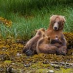 Tiderip Grizzly Bear Tours