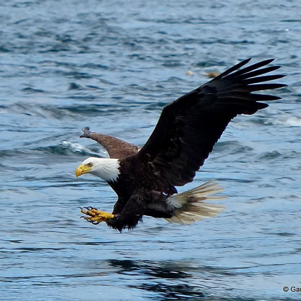 eagle-on-the-water