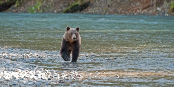Grizzly Bear Watching