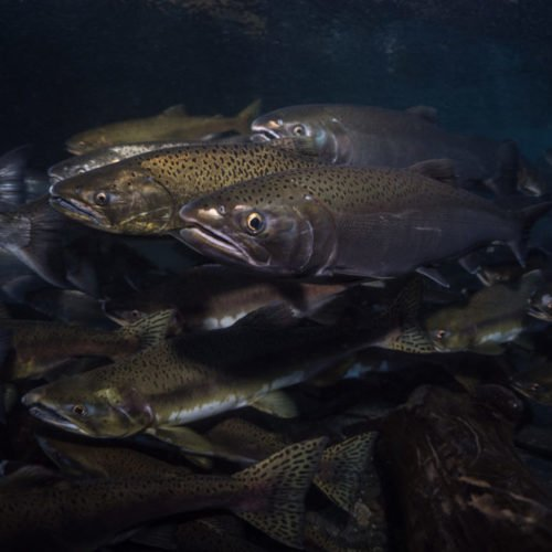 Coho-and-Pink-Salmon,-Quinsam-River-3