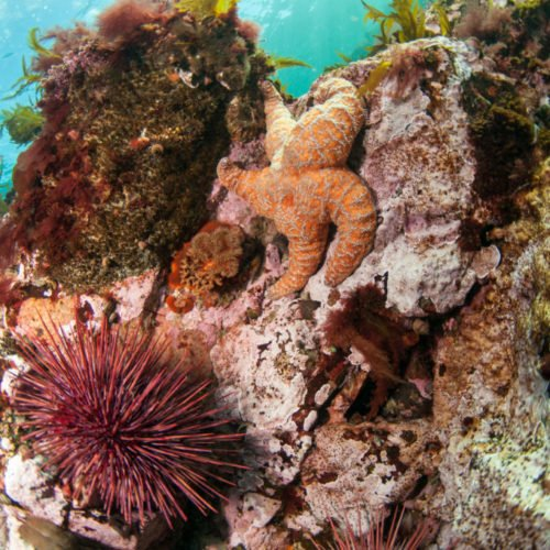 Uchin,-Ochre-Sea-Star-and-other-Marine-life---Kelp-and-Seagrass---Discovery-Passage