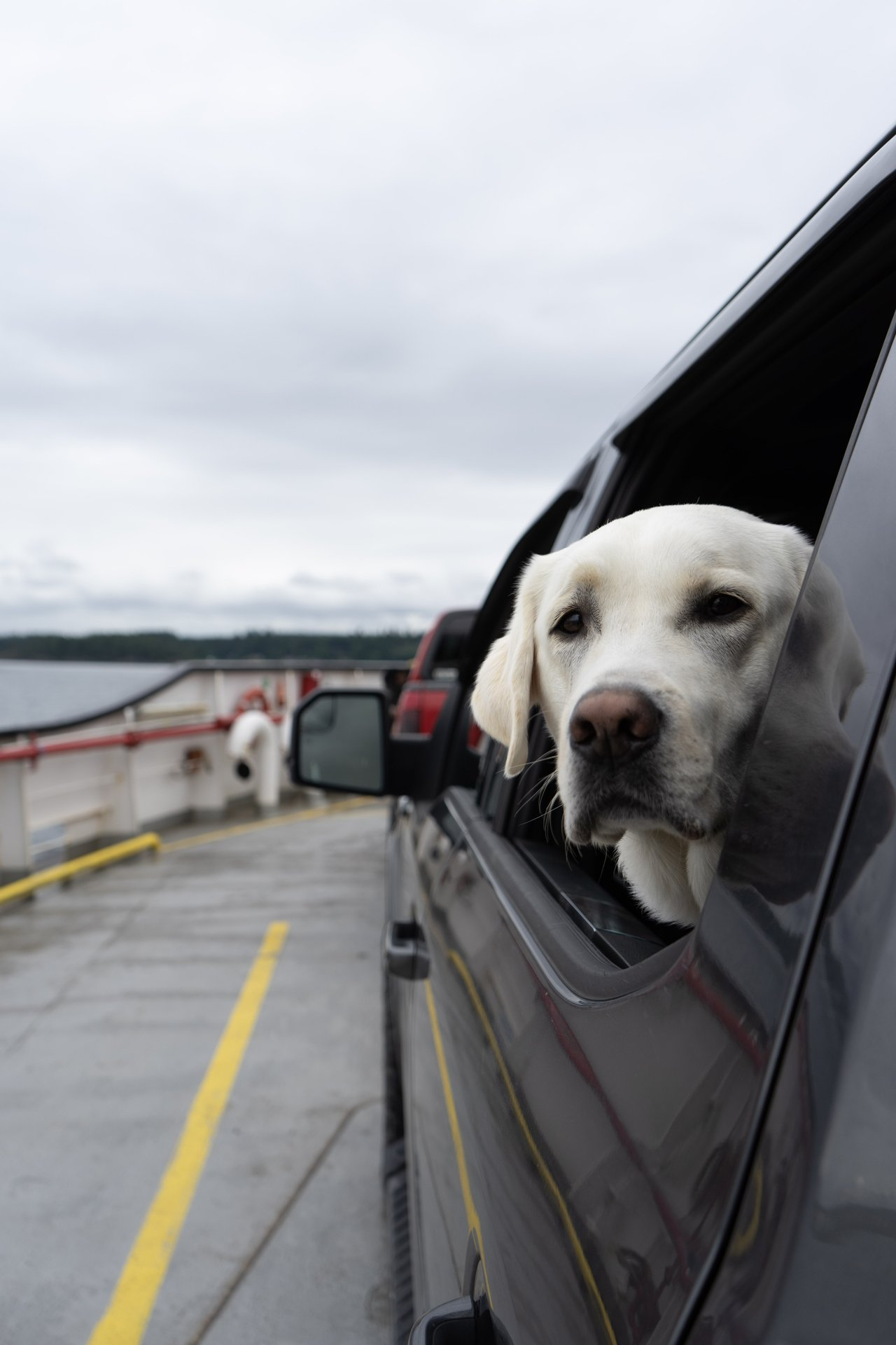 a dog looking out the window on the quadra ferry